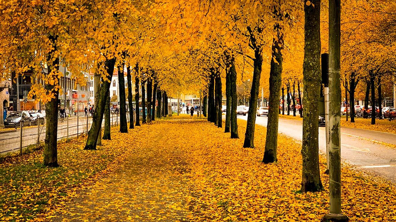 Allén i Göteborg med brandgula löv