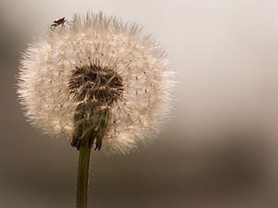Vardagsfoto: maskros med insekt